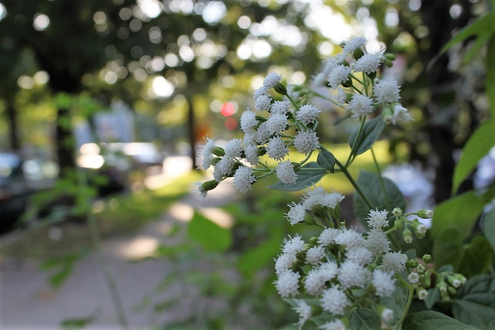 White snakeroot growing along the sidewalk on Webster Street grows easily from seed.