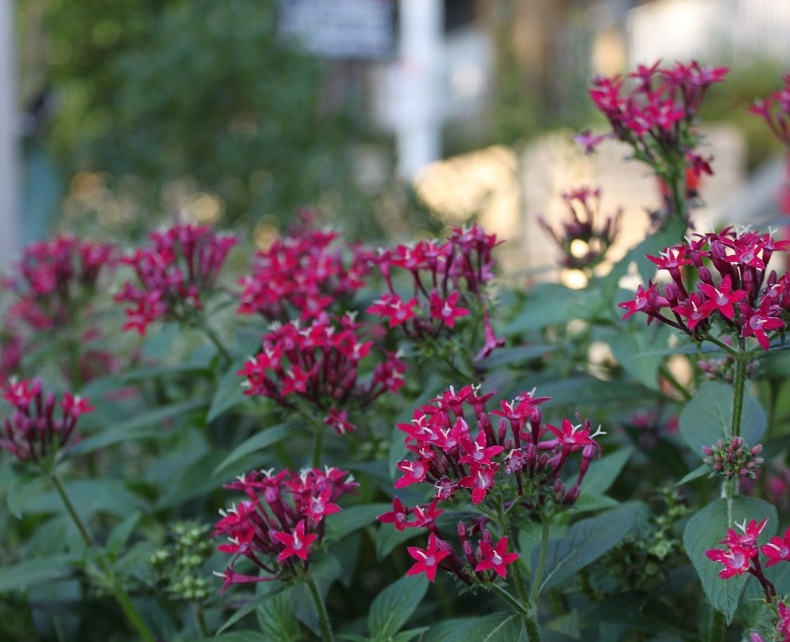 Dark magenta pentas in the curb strip of 3rd Street.