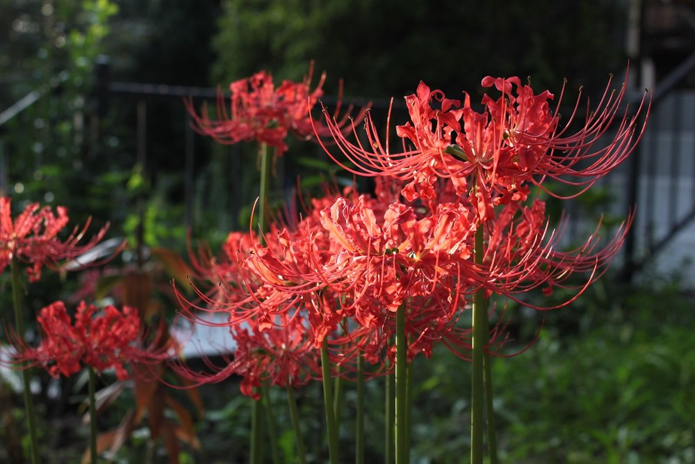 Spider lilies catching the late afternoon sun on Allison Street.