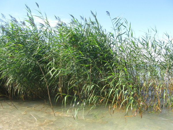 Phragmites, High Island (stoptheinvasives.wordpress.com)