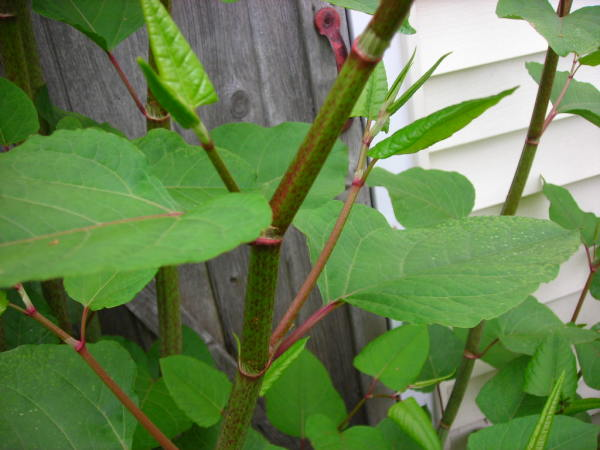 Japanese knotweed, Fallopia japonica (wikimedia.org)