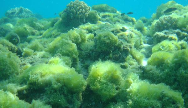 Algae (pifsc.noaa.gov)
