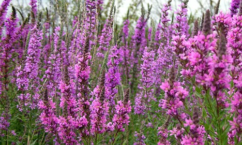 Purple loosestrife, Lythrum salicaria (chesapeakebay.net)