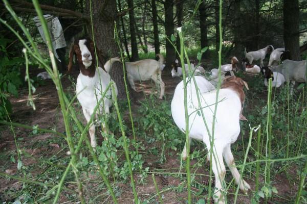 Goats enjoying some invasive plants (courtesy of modernfarmer.com)