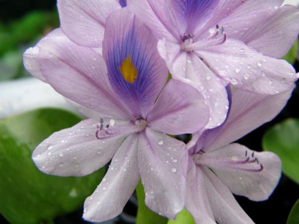 Pretty yet pernicious, a water hyacinth flower (wikimedia.org)