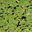 Floating-leaf pondweed