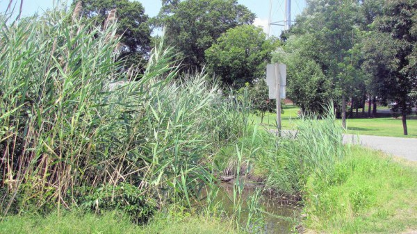 Phragmites has even spread to drainage ditches (tidewaterreview.com).