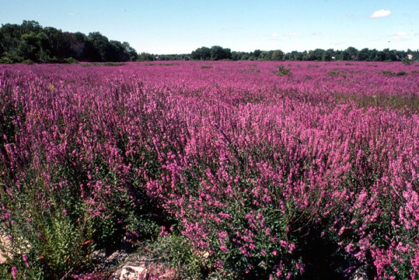 Purple loosestrife invaded over 75% of the lot pictured (stcloudstate.edu).
