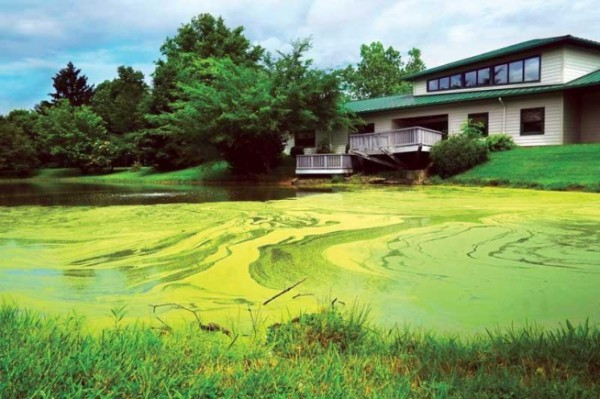 Watermeal, an invasive free-floating plant, has taken over the pond in front of the ODNR building on East State Street in Athens. A wildlife biologist says another herbicide treatment is planned as soon as possible. (Athens NEWS file photo).