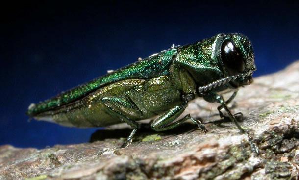 Emerald Ash Borer (image via emeraldashborer.info).