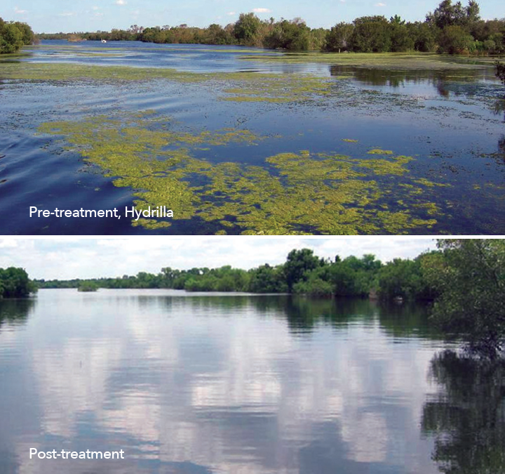 Pre-treatment and post-treatment images of a hydrilla-infested lake, treated with Galleon Aquatic Herbicide.