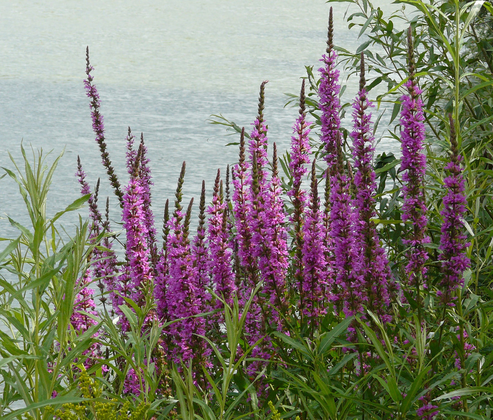 Purple loosestrife, a problem invasive in Michigan (wikimedia.org).