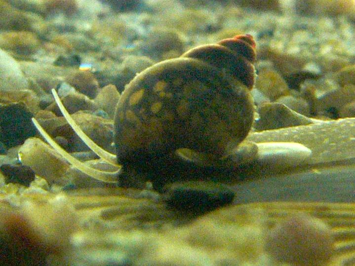 Faucet snail (Bithynia tentaculata). wikimedia.org