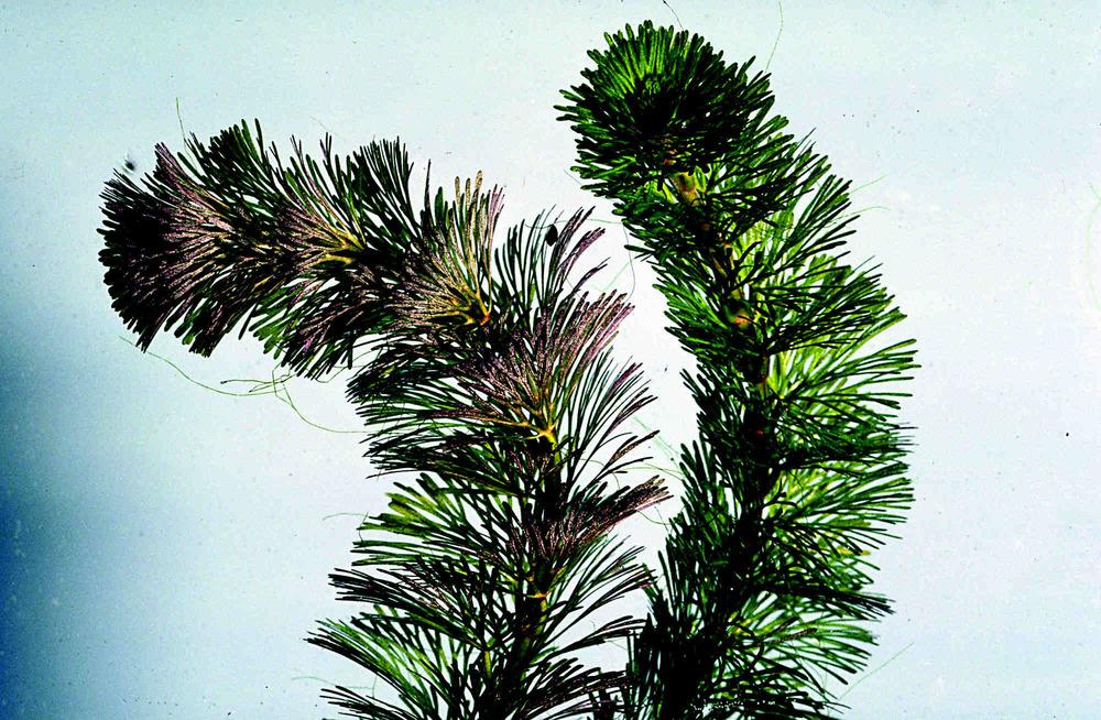 Fanwort (Cabomba Caroliniana)  ecy.wa.gov