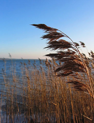 """Phragmites australis Schilfrohr."" (Licensed under CC BY-SA 2.0 via Wikimedia Commons- commons.wikimedia.org)"