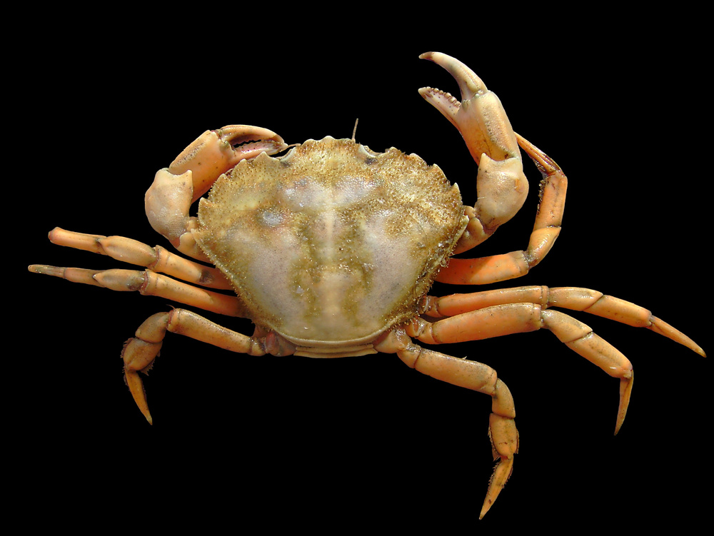 Capable of tolerating low-salinity areas, the European green crab ( Carcinus maenas )can also be found in estuaries. (image via wikimedia.uploads.org)