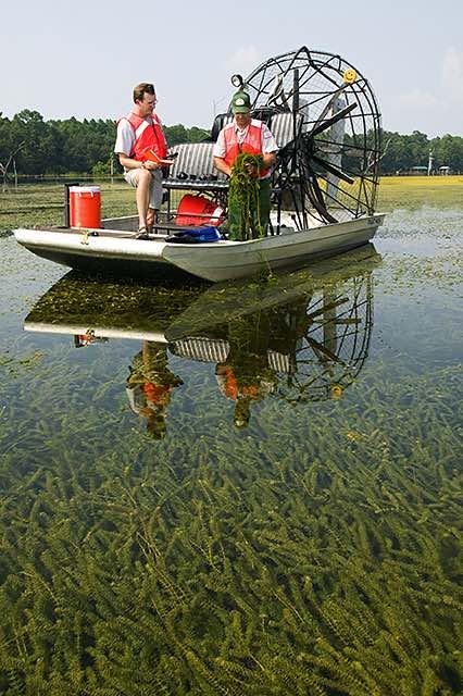 Hydrilla infested Lake Seminole (Stephen Ausmus, USDA, en.wikipedia.org).