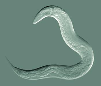 Caenorhabditis elegans , a nematode (en.wikipedia.org).