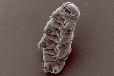 "A tardigrade or ""water bear"" (Bob Goldstein, Vicky Madden, en.wikipedia.org)."