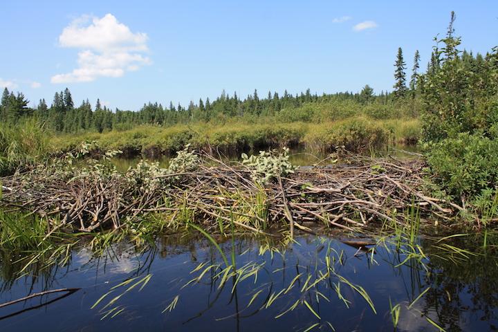 Algonquin Beaver Dam (en.wikipedia.org).
