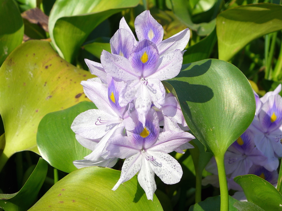 Water Hyacinth (en.wikipedia.org).