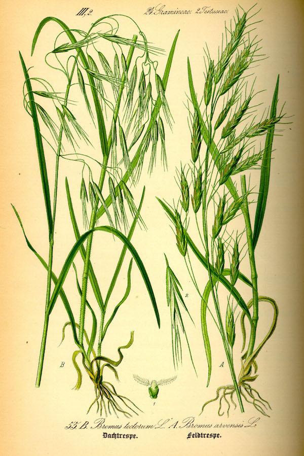 Cheatgrass (en.wikipedia.org).