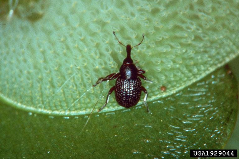 Salvinia Weevil Cyrtobagous salviniae (dnr.state.il.us).