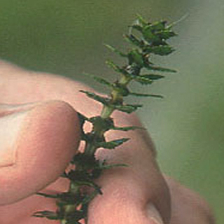 Variable-Leaf Watermilfoil