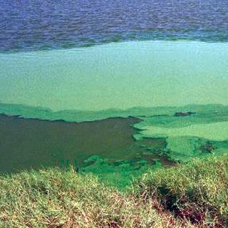 Also known as: Blue-green algae, pea soup, scum, waterbloom, microscopic algae.