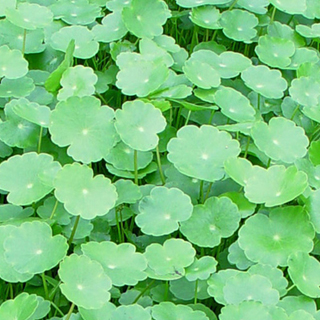 Also known as: Pennywort, navelwort, many flowered pennywort.