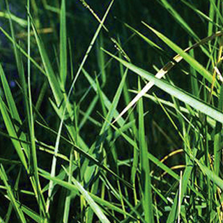 Commonly confused with: torpedo grass, para grass, cupscale grass, blue maidencane.