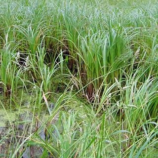 Also known as: water sedge.