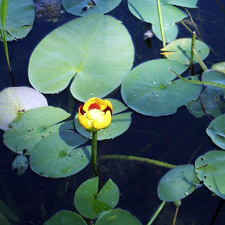 Also known as: Mexican water lily.