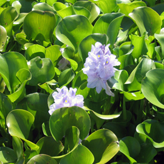 Also known as: common water hyacinth, floating water hyacinth.