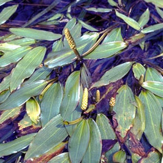Also known as: American pondweed, floating-leaf pondweed.