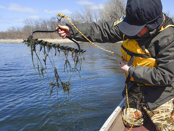 An aquatic invasive species specialist with the Minnesota Department of Natural Resources, uses a double-sided rake on a rope to collect samples of starry stonewort on Lake Koronis near Paynesville. The DNR is monitoring plant growth to determine the best time to apply a chemical treatment.
