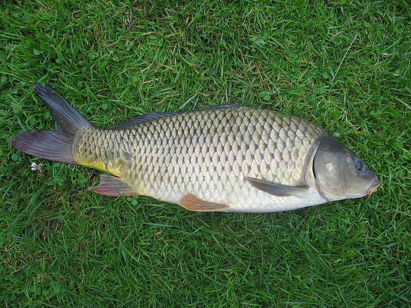 European carp ( Cyprinus carpio  ).  Credit: Dezidor, wikimedia.org