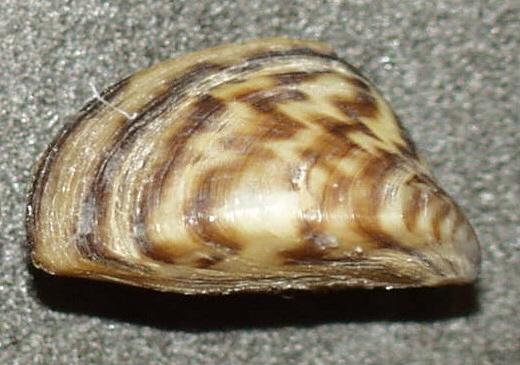 A zebra mussel ( Dreissena polymorpha ). Public Domain, wikimedia.org