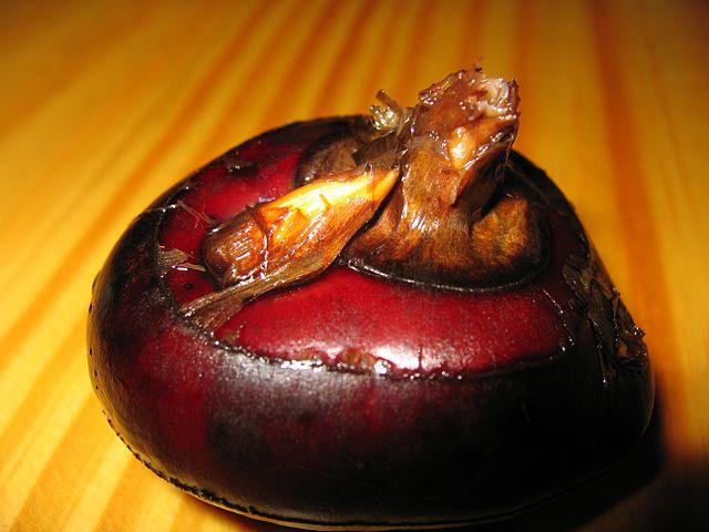 The corm of a water chestnut ( Eleocharis dulcis ). Public Domain, wikimedia.org