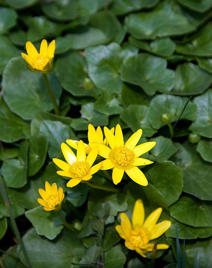 Fig buttercup ( Ficaria verna ). Credit: Michal Osmenda commons.wikimedia.org