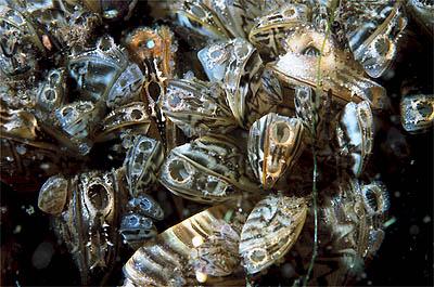 Zebra mussels ( Dreissena polymorpha ). Credit: GerardM, wikimedia.org