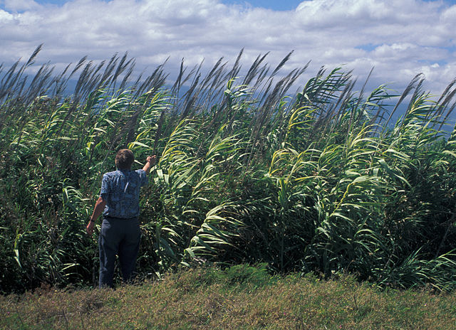 Giant Reed ( Arundo donax ). Credit: Forest and Kim Starr, Public Domain, wikimedia.org