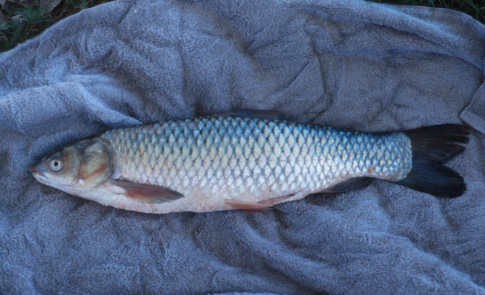An adult Asian grass carp. Image credit: dnr.wi.gov