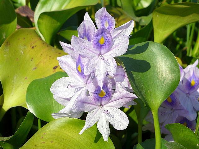 Water hyacinth ( ichhornia crassipes).  Credit: Wing1990hk - Own work, Wikimedia.org