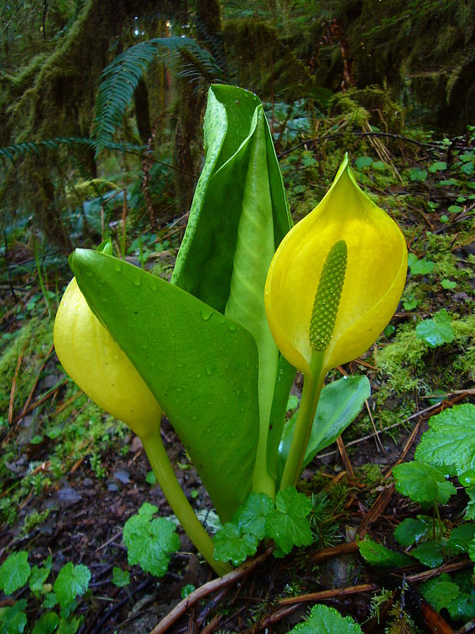Yellow skunk cabbage ( Lysichiton americanus ). By Martin Bravenboer - Own work, Public Domain, Wikimedia.org