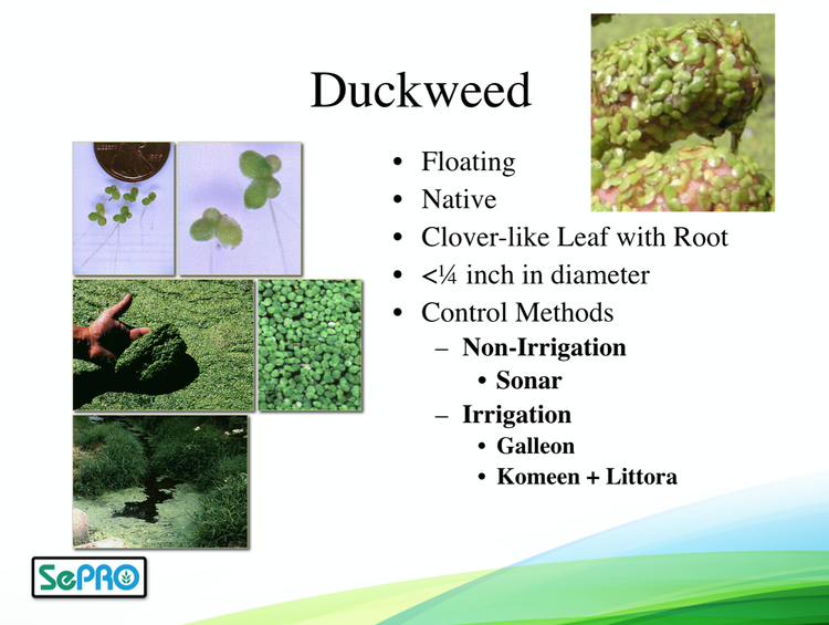 duckweed is a very small floating plant it has shoesole shaped leaves with a small hairlike root hanging on its underside it resembles a fourleaf - Types Of Weeds