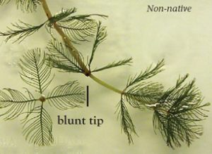 A close-up of non-native, or invasive, Eurasian watermilfoil. Image credit: lakegeorgeassociation.com