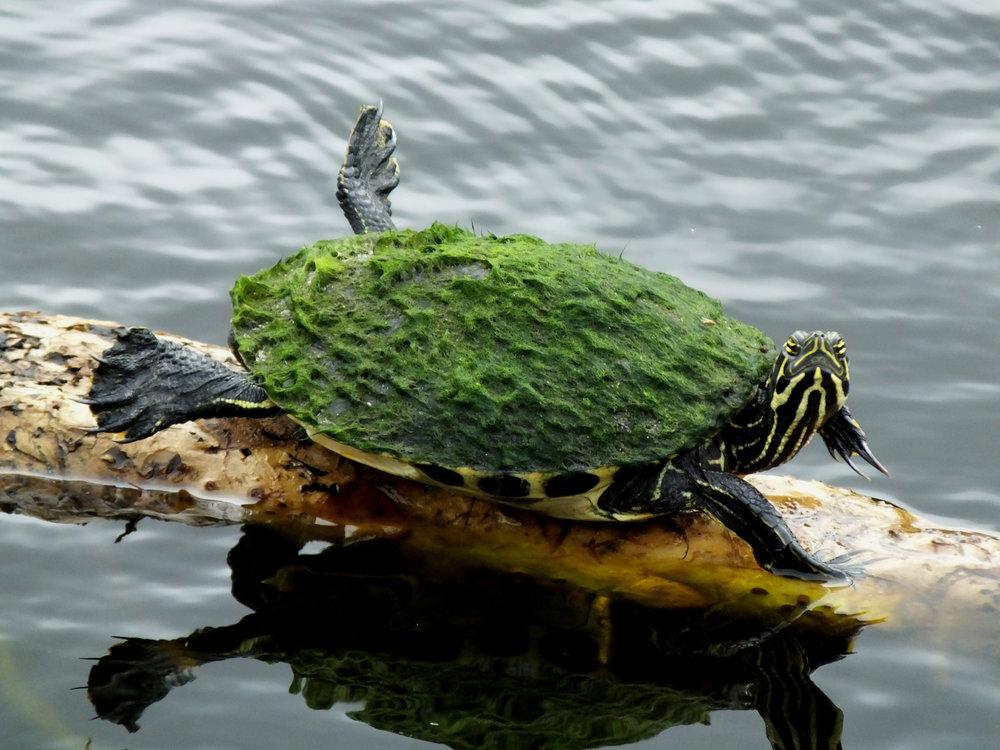 turtle-with-algae.jpg