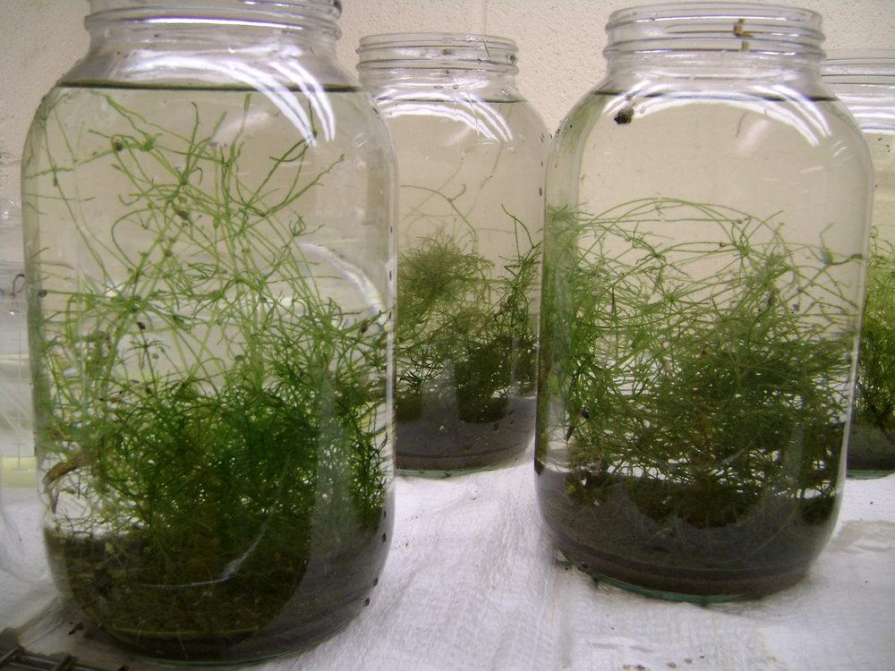Plant-like macroalgae
