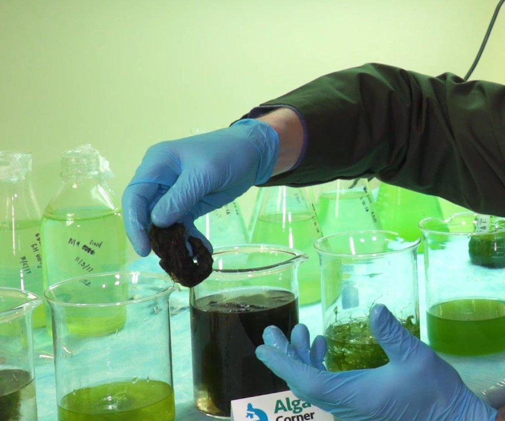 filamentous-lyngbya-algae.JPG